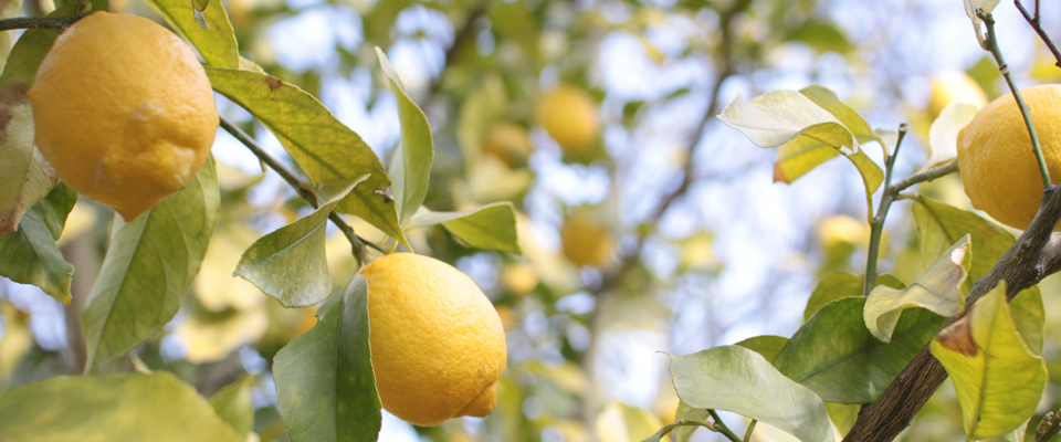top_lemon_400