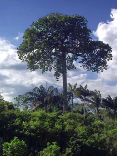 見上げるほどの大きさ!ブラジルナッツの木。