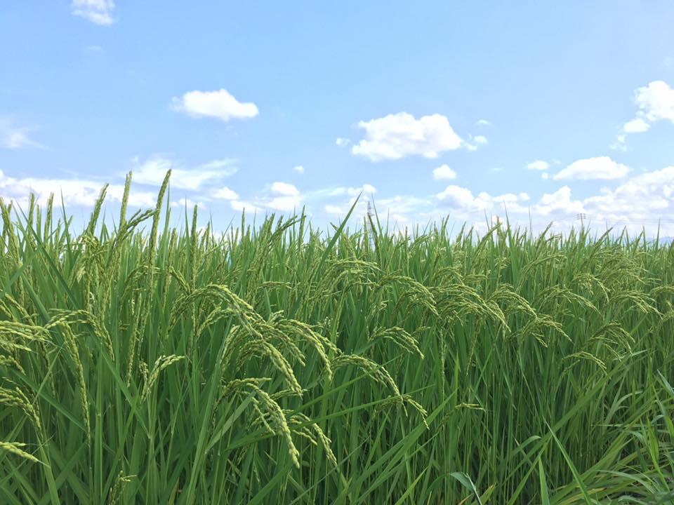 魚沼産コシヒカリの稲
